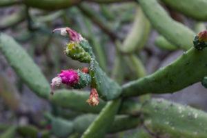 Posada Colibri - Cactacea en Flor